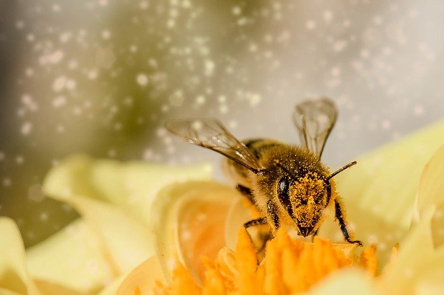 Bee on a flower covered with pollen