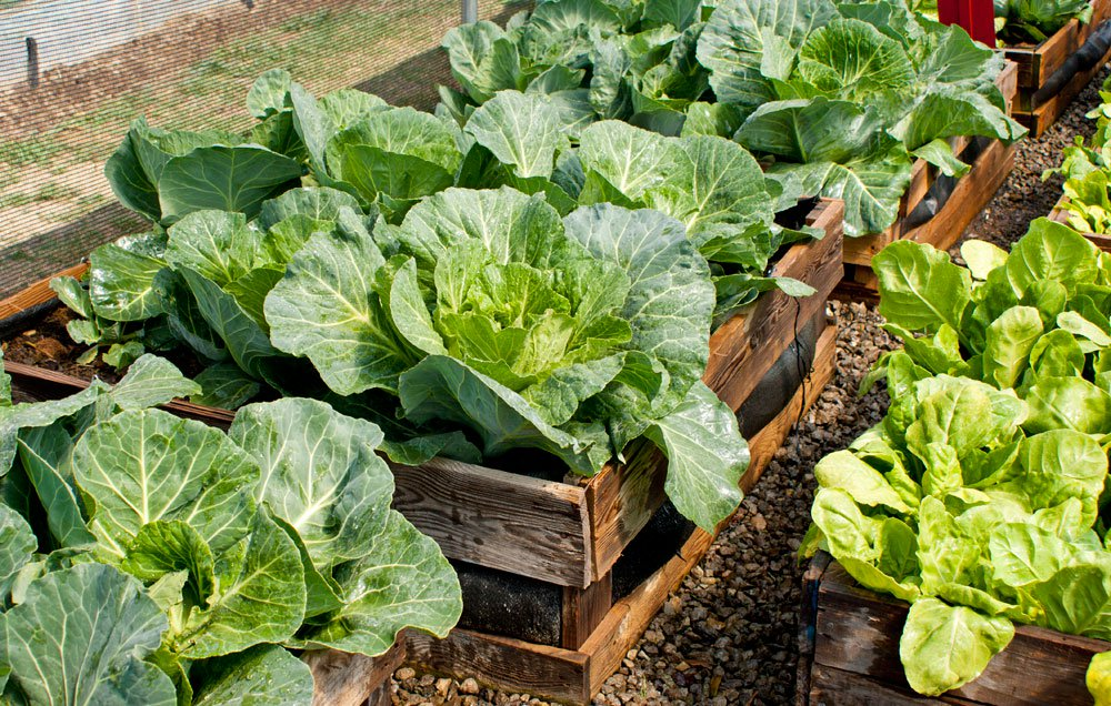 growing cabbage in the fall